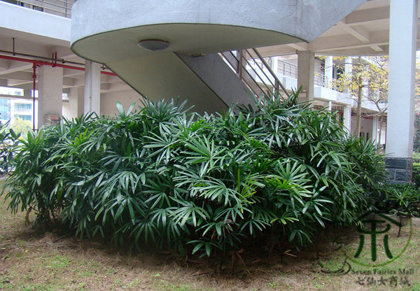 Rhapis Excelsa, Broadleaf Lady Palm Seed, The Lady Palm Zong Zhu - Tree Seeds - bestplant - bestplant