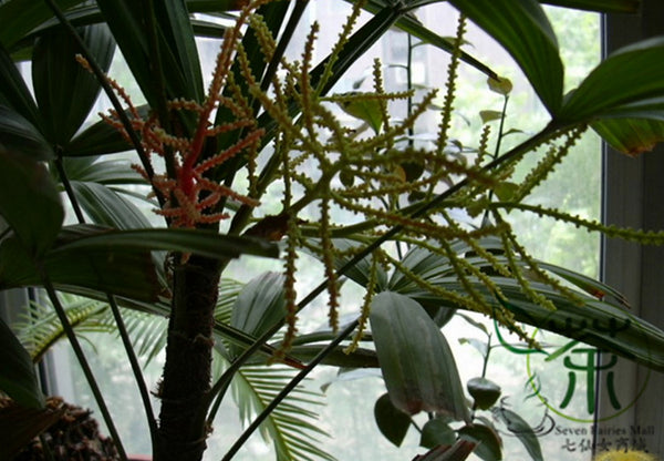 Rhapis Excelsa, Broadleaf Lady Palm Seed, The Lady Palm Zong Zhu