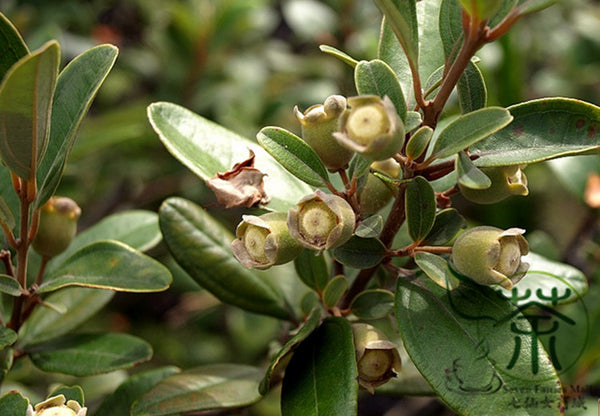 Rhodomyrtus Tomentosa, Rose Myrtle Seed, Tao Jin Liang