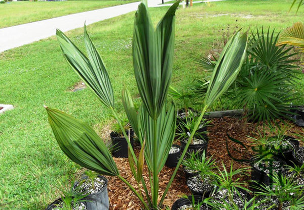 Sabal Palmetto, Cabbage Palmetto Seed, Blue Palmetto Long Lin Lv
