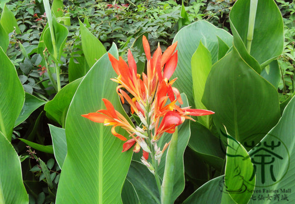 Canna Indica, Indian Shot Seed, African Arrowroot Meirenjiao - Flower Seeds - bestplant - bestplant