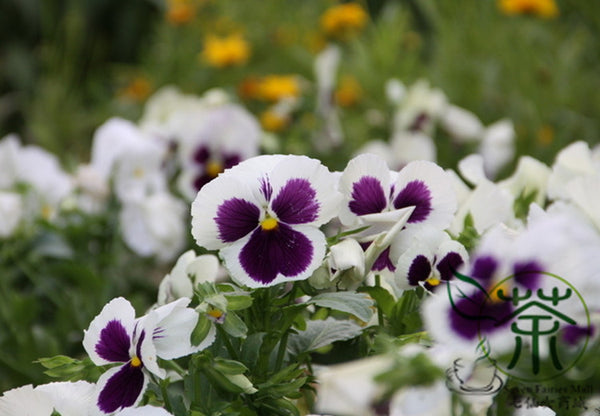 Viola Tricolor, Johnny Jump Up Seed, Heart's Ease San Se Jin - Flower Seeds - bestplant - bestplant