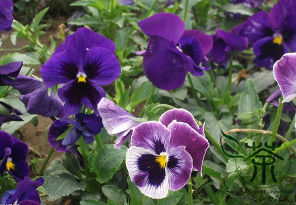 Viola Tricolor, Johnny Jump Up Seed, Heart's Ease San Se Jin
