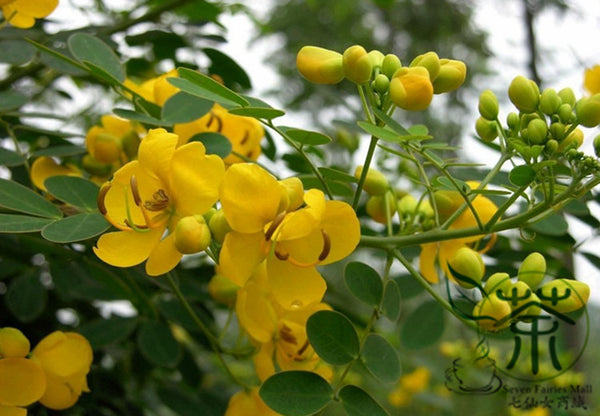 Senna Surattensis, Cassia Surattensis Seed, Huang Huai Jue Ming - Tree Seeds - bestplant - bestplant