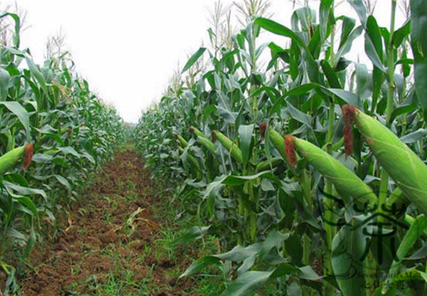 Black Maize, Sweet Corn Seed, Zea Mays Hei Yumi - Grain Seeds - bestplant - bestplant
