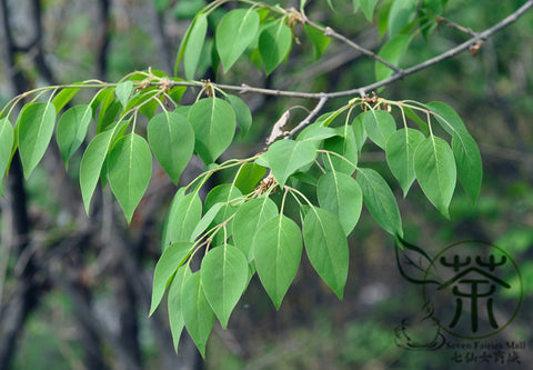 Syringa Reticulata, Japanese Tree Lilac Seed, Bao Ma Ding Xiang - Tree Seeds - bestplant - bestplant