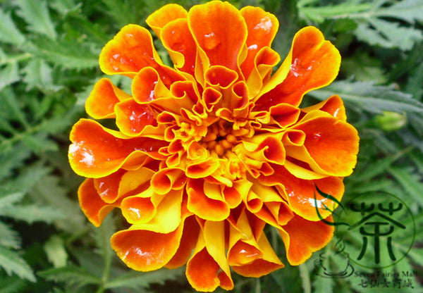 Tagetes Patula, French Marigold Seed, Dainty Marietta Kongque Cao
