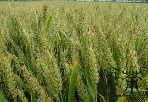 Triticum Aestivum, Common Wheat Seed, Bread Wheat Xiao Mai - Grain Seeds - bestplant - bestplant