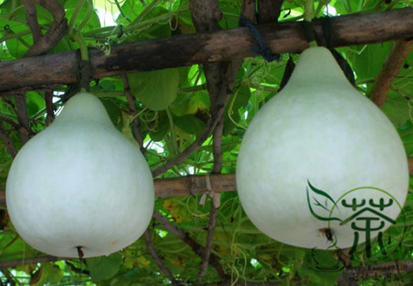 Lagenaria Siceraria, White-flowered Gourd Seed, Bottle Gourd Hulu Piao
