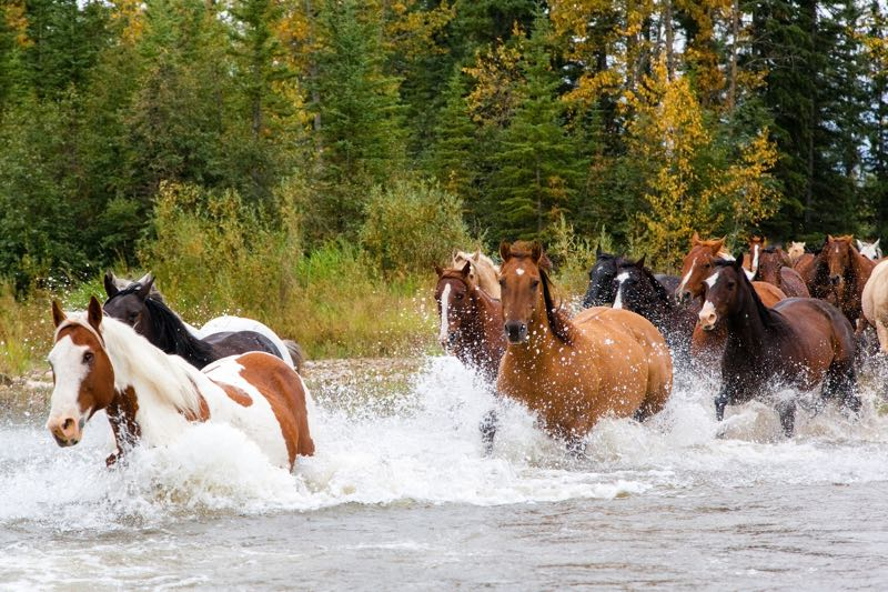 horses running in river
