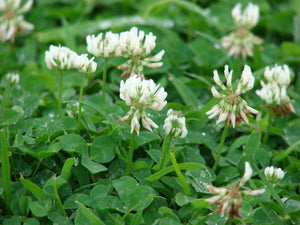 Rampart Ladino Clover