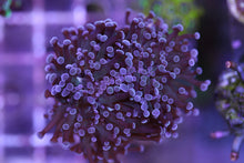 Purple Frogspawn