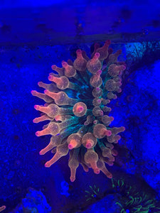 Muti color Anemone