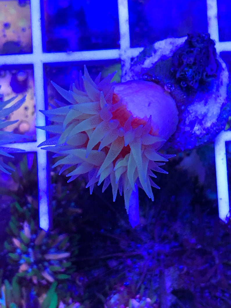 AUSTRALIAN FAT HEAD DENDROPHYLLIA