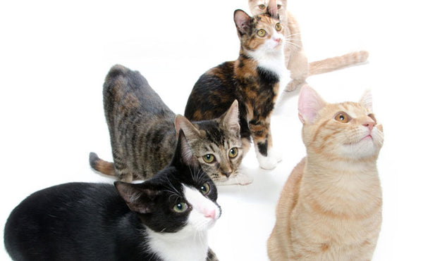 Which Cat Are You? Quiz!