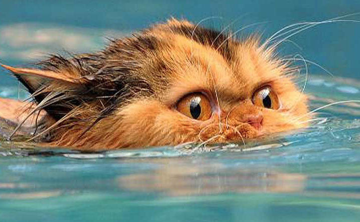 Cats That Love to Swim
