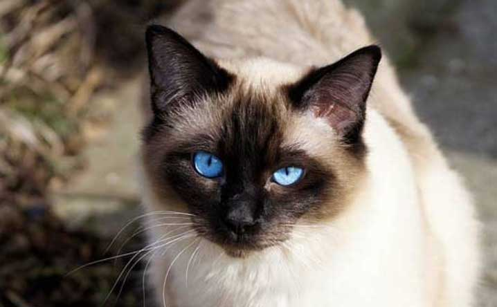 Five cat breeds that meow the most