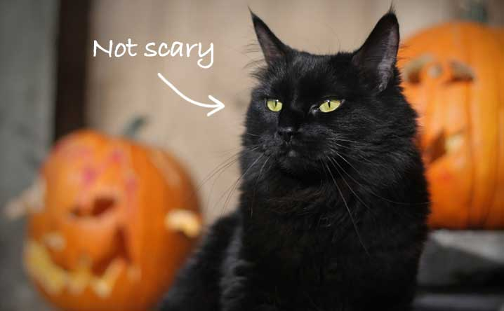 Superb Give A Black Cat A Forever Home At Halloween.   Modkat