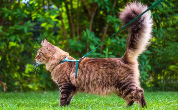 7 tips for leash training your cat.