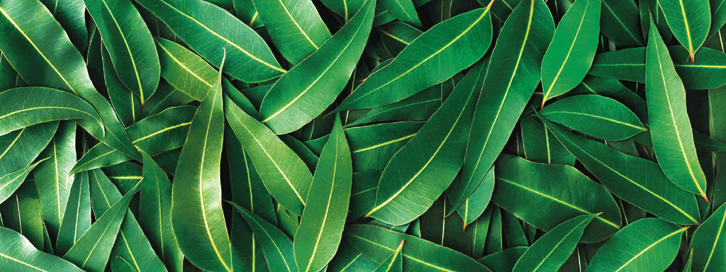 A pile of Eucalyptus leaves