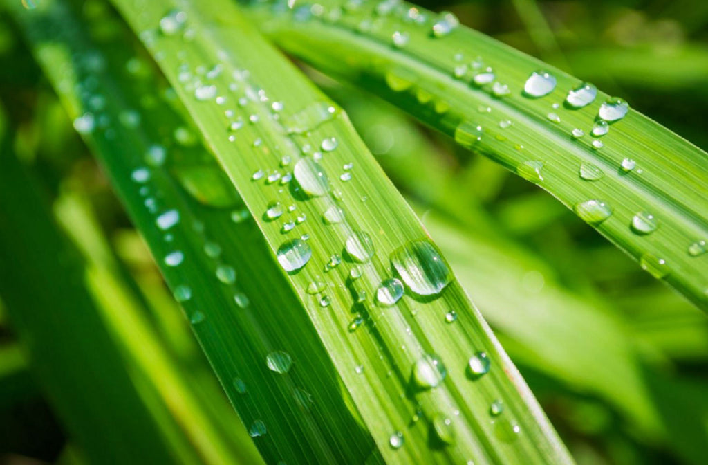 Lemongrass with rain drops on top