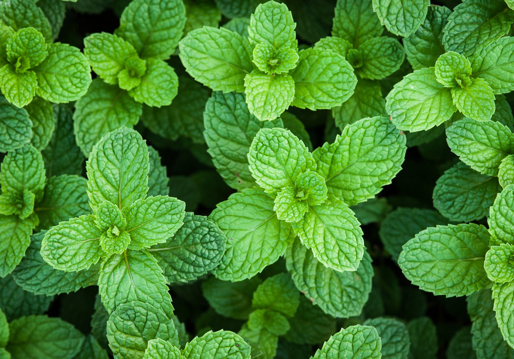 Peppermint plants