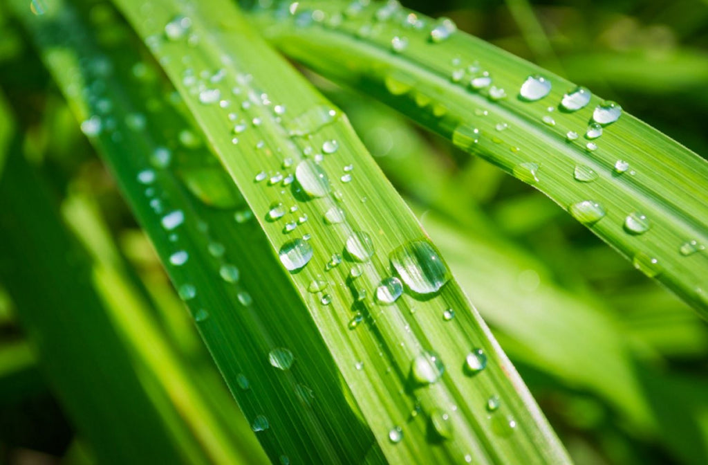 Raindrops on Lemongrass leaves