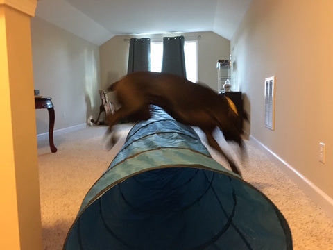 Boxer mix Missy jumps over an indoor agility tunnel