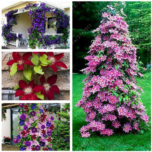 50pcs/Bag Mixed Colors Clematis Semillas Bonsai Flowers (Se eds) Home Garden