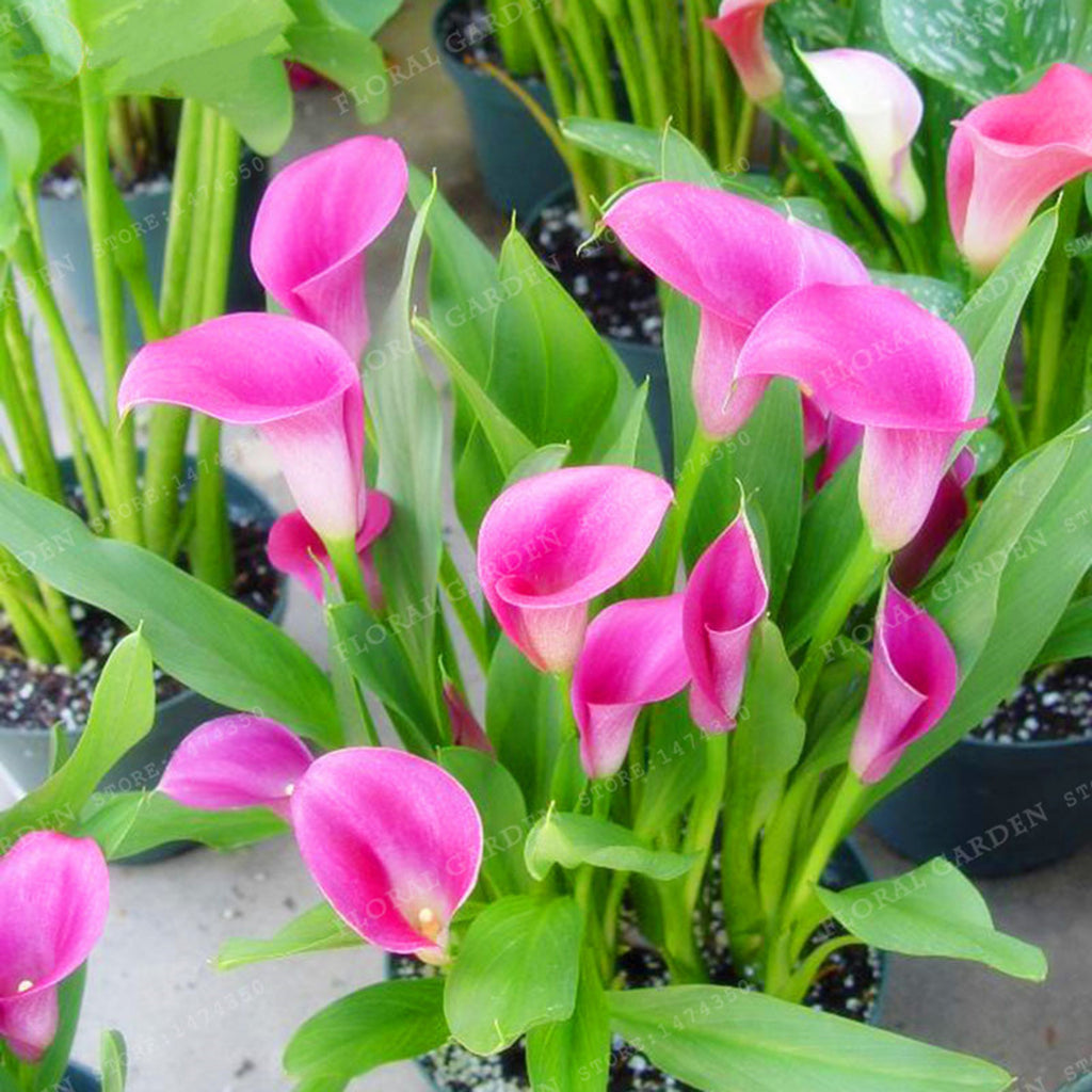 Pink calla lily bulbspink calla lily flowercalla bulbscalla calla lily bulbs calla lily flowers pink flowers 246 izmirmasajfo