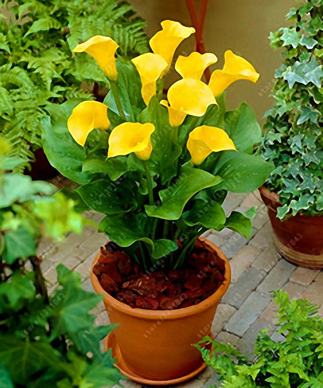 yellow calla lily bulbs yellow calla lily flower calla flower bulbs
