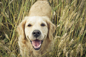 Are Grains and Carbohydrates bad for my Diabetic Dog?