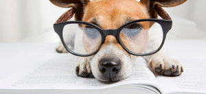 Diabetic Dogs, Cataracts and Canine Eye Health
