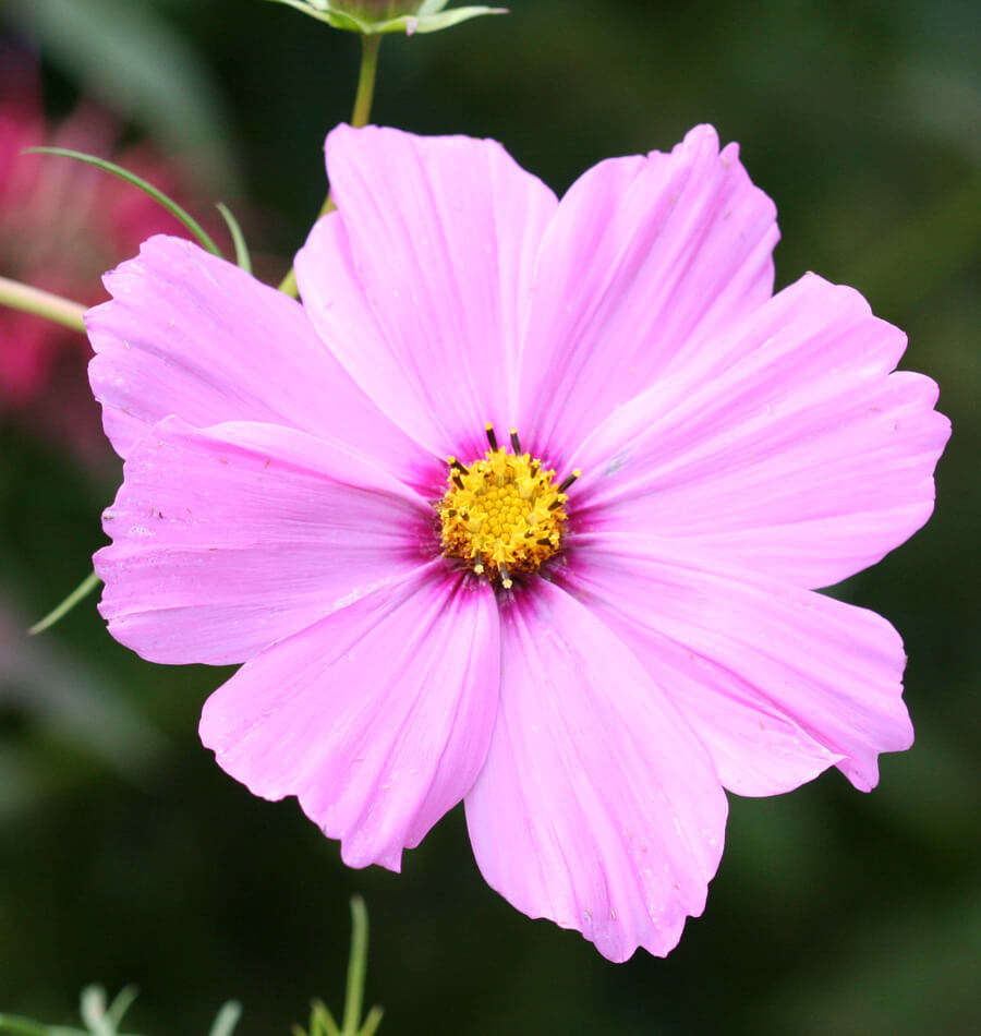 How To Grow Cosmos From Seeds West Coast Seeds