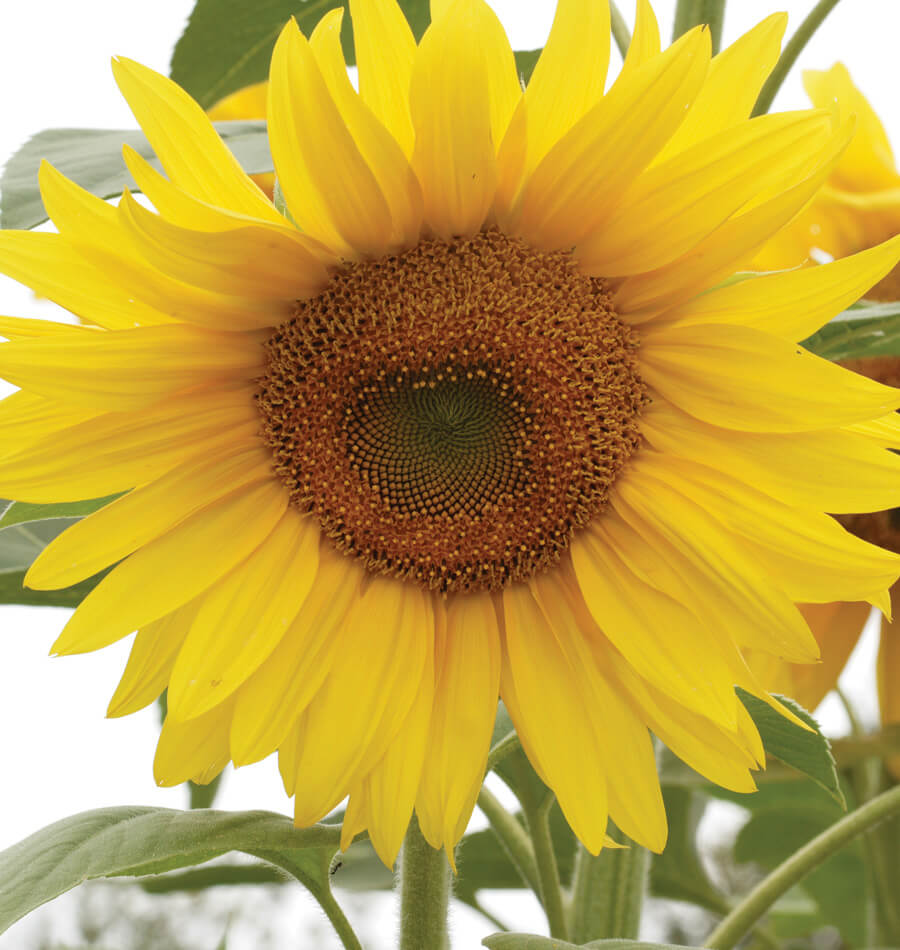 How to Grow Sunflowers from seed |West Coast Seeds
