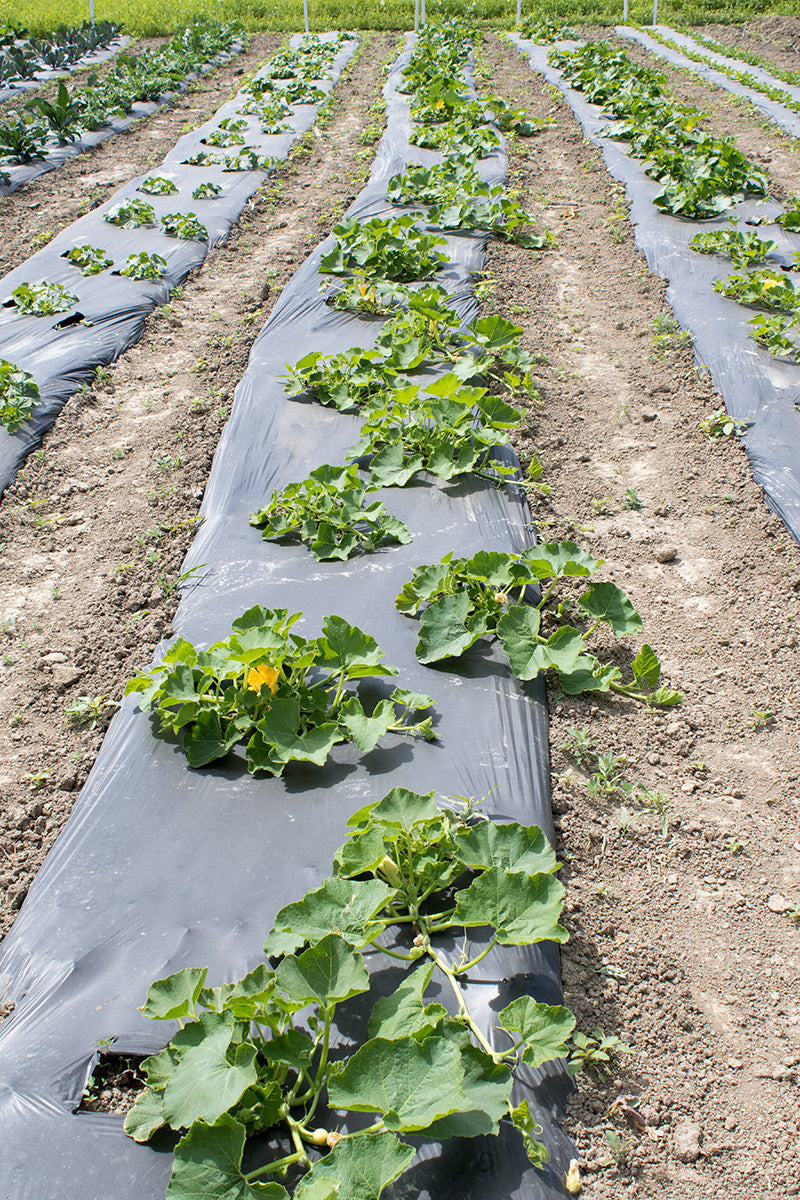 Row of squash plants