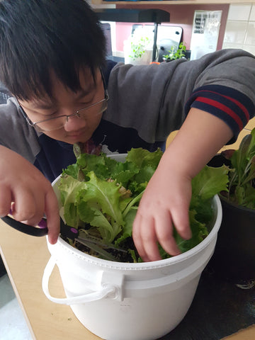 Kid learning to cut lettuce grown in a container - Food First Foundation