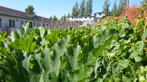Leafy greens growing in the gardens at Farmers on 57th