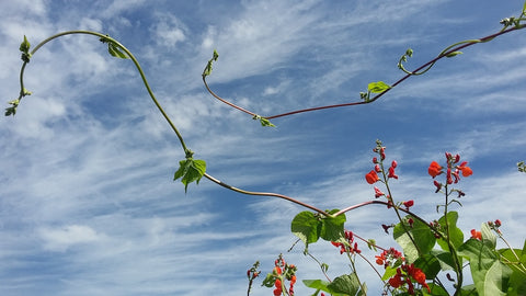Blue skies, clouds, and vines growing at Farmers on 57th