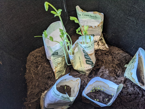Sprouts growing in West Coast Seeds packages, photo by KidSafe