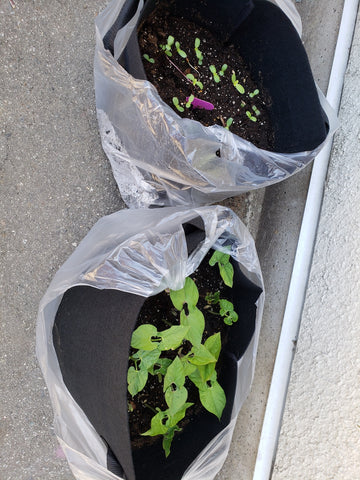 Seedlings growing in containers at KidSafe