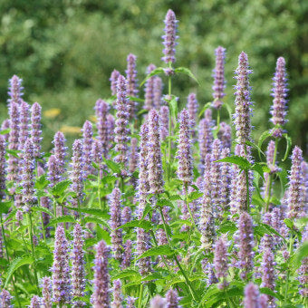 Agastache Flowers for Bees