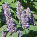 Flowering Agastache Fower Seeds FL2034 F