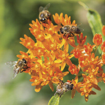 Asclepias flowers for bees
