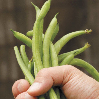 Fortex Filet Pole Bean Seeds BN132