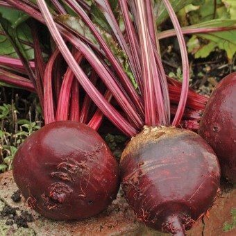 Red Ace Organic Beet Seeds BT173 2