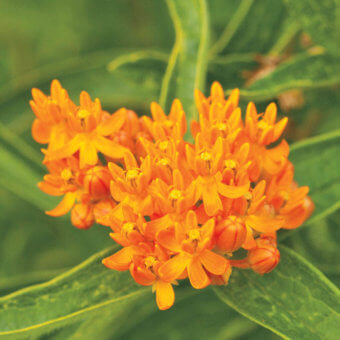 Butterfly Bush Bulbs BU240-1