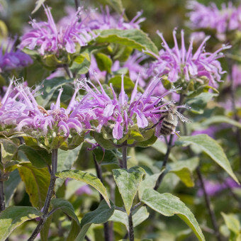 Bergamot flowers for bees