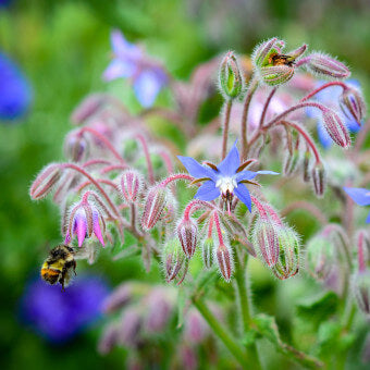 Borage flowers for bees