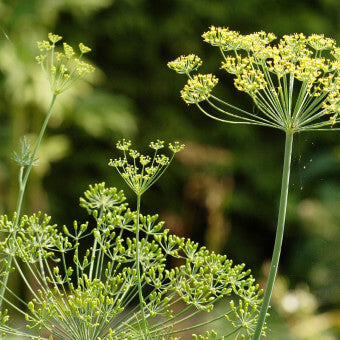 Flowering Bouquet_Dill_HR1086_F